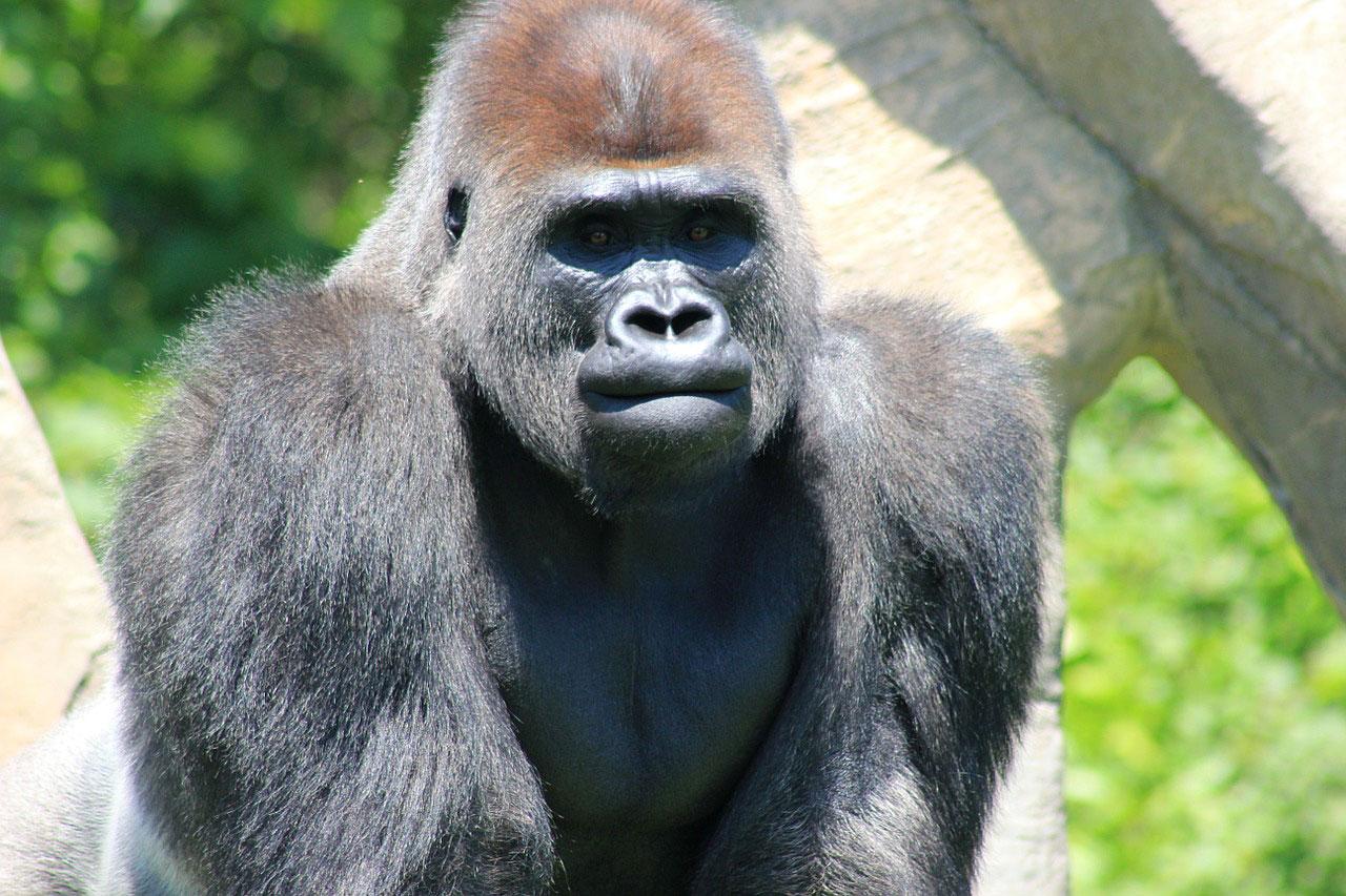 Фотография гориллы