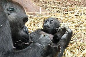Самка гориллы