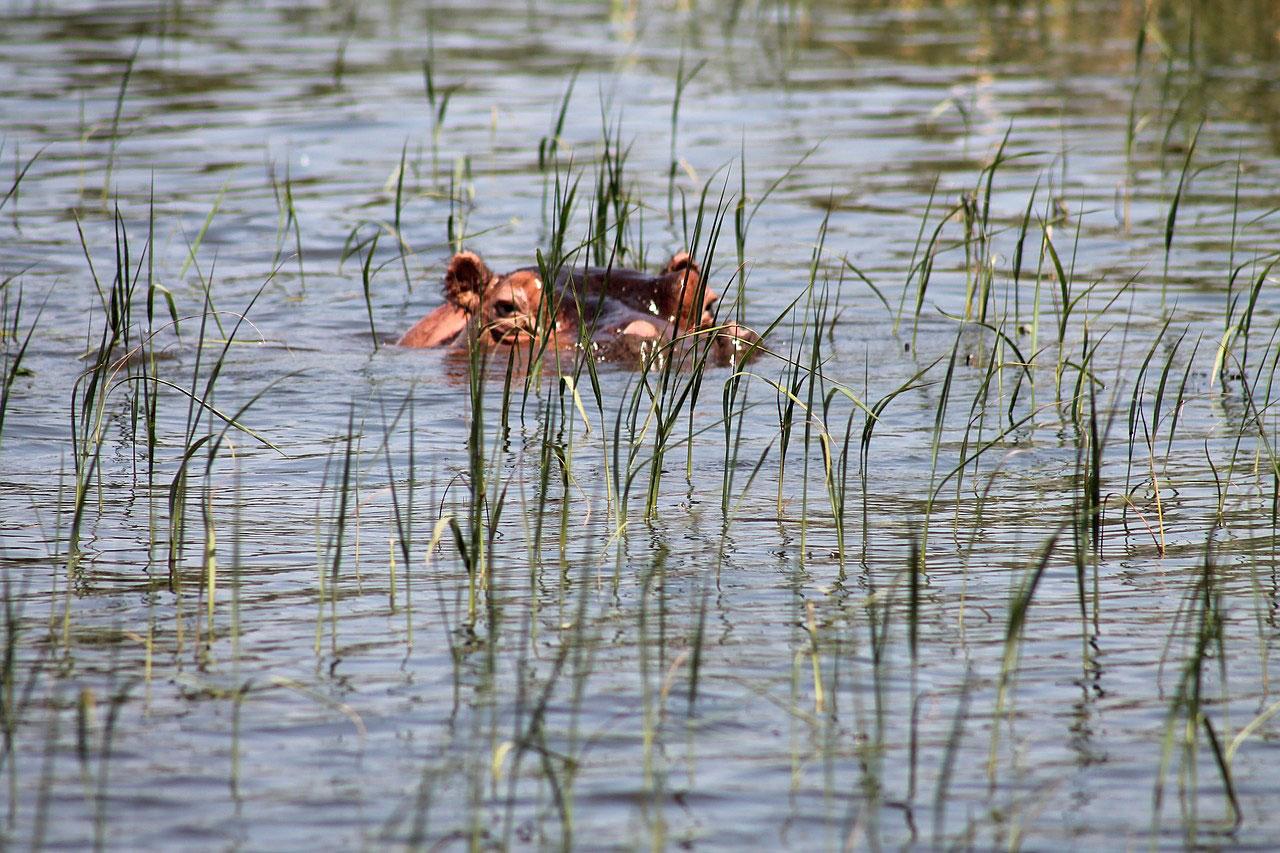 Бегемот на озере Авасса