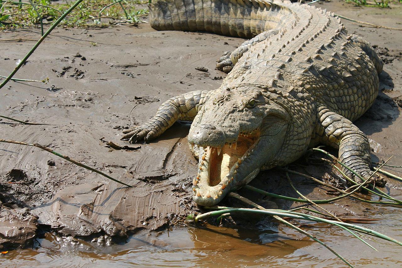 Нильский крокодил на озере Чамо