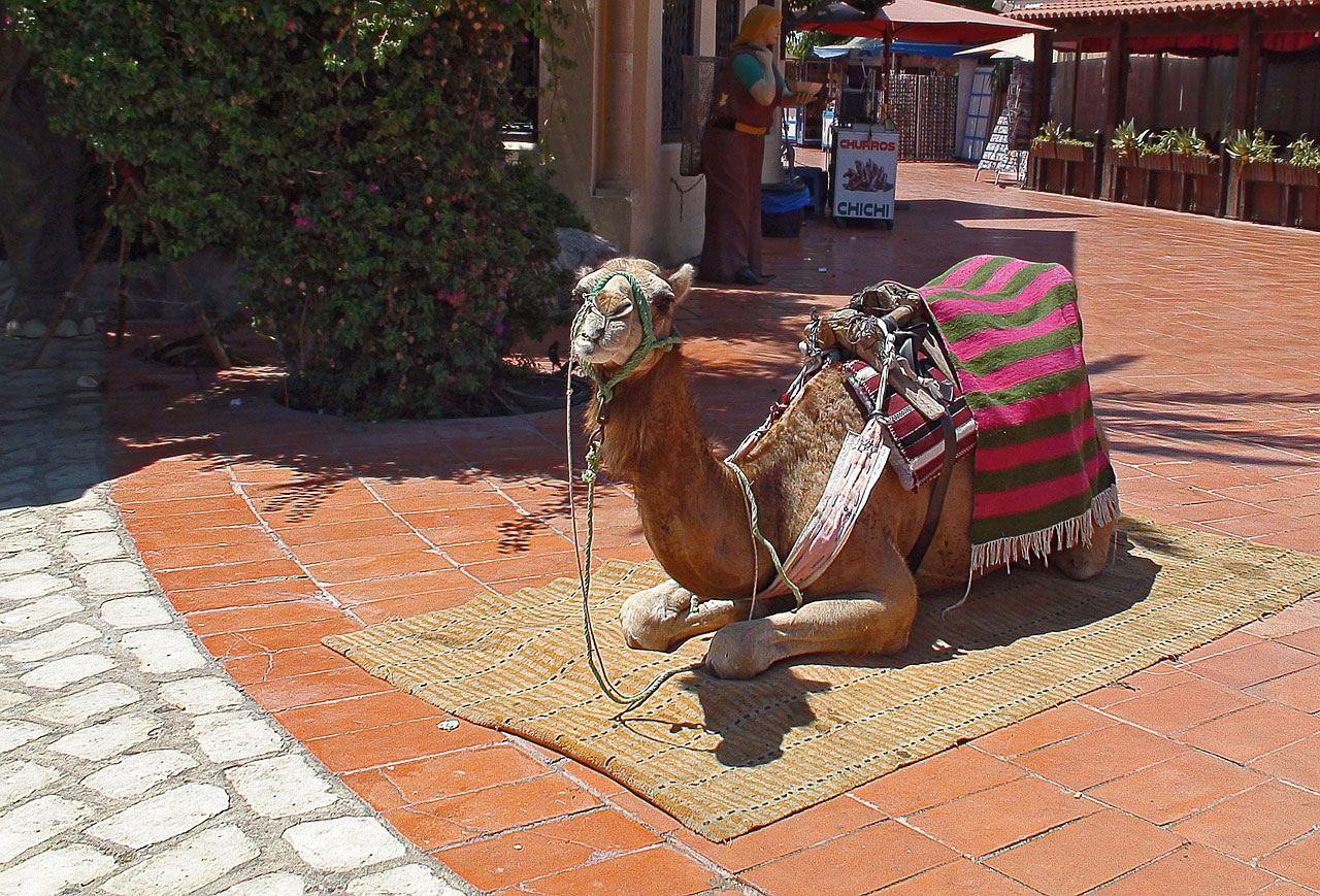 Верблюд отдыхает